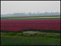 images/stories/20060501_Holandia/800_P1020834_PoleTulipanow.JPG